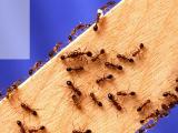 10 روش طبیعی راحت برای از بین بردن مورچه ها در خانه